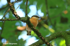 Wood nuthatch / Boomklever