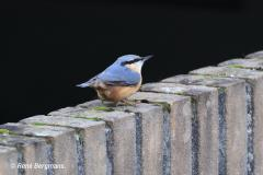 Nuthatch / Boomklever