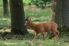 Roe deer album