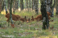 Roe deer rut (mating season