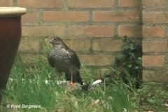 Sparrowhawk / Sperwer