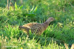 Common pheasant (female)