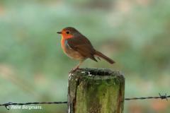 European robin / Roodborstje
