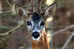Roe deer portraits