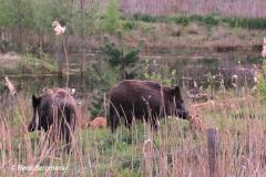 Wild boar / wild zwijn (Sus scrofa)